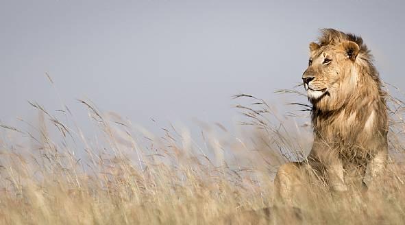 lion-king-masai-mara